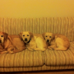 couch-dogs